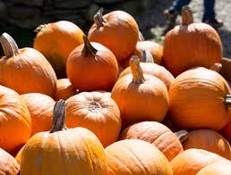 Pumpkin Patch Western Massachusetts by Feature Pumpkins Jpg