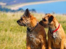 Do Border Terriers Shed by Border Terriers Useful Information And Resources On Border Terriers