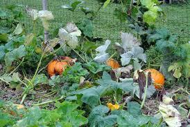 Bigs Pumpkin Seeds Nutrition by Checking Up On The Pumpkin Patch The Martha Stewart Blog