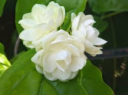 Sampaguita The National Flower of The Philippines