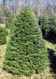 Nordmann Fir Christmas Tree by Hill Farms Types Of Christmas Trees