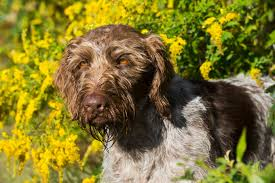Griffon German Wirehaired Pointer Shedding by German Wirehaired Pointer Dog Breed Information Pictures