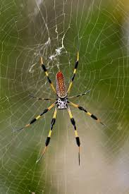 27 Best Spiders Of Wisconsin Images On Pinterest | Spiders ... Spiders At Spiderzrule The Best Site In World About Spiders 5 Venomous Found Colorado Outthere 109 And Webs Images On Pinterest Nature Ohios Biting Spidersrule The Barn Spider Pets Cute Docile Bug Eric Sunday Western Spotted Orbweaver Araneus Gemmoides Wikipedia Poisonous Georgia