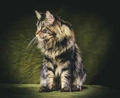 Do Maine Coons Shed Their Mane by Metatroneyes Maine Coons
