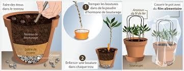 comment bouturer un olivier