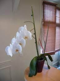 comment entretenir orchidée phalaenopsis quand on est débutant