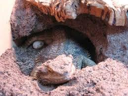 information on bearded dragon eggs pogopogona