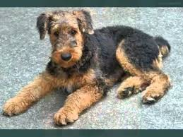 Airedale Terrier Non Shedding by Set Of Cute Dogs Pictures Puppy Terrier Airedale Youtube
