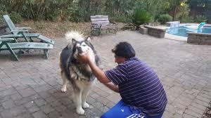 sheru bruno grooming time combing white german shepherd