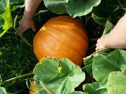 Pumpkin Picking Nj Colts Neck by Contact Slope Brook Farm Inc