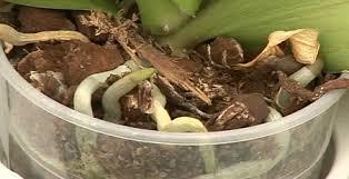 donner un bain à orchidée phalaenopsis conseils pour arroser