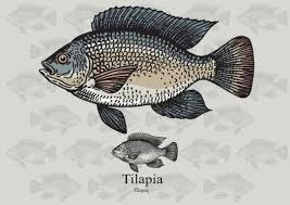 Tilapia Fish Vector Free Download