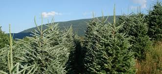 Fraser Fir Christmas Trees Nc by Mile High Tree Farm Wholesale Christmas Tree Farm In The North