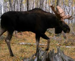 Moose Shed Antler Forums by 3 Chippewa Indian Tribes Renew Hunting Of Minnesota Moose