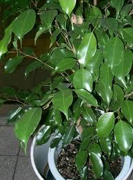 ficus benjamina pflege pflanzenfreunde