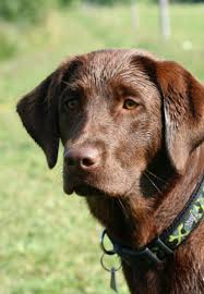 Are Christmas Trees Poisonous To Dogs Uk by Toxic To Labradors
