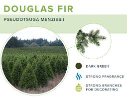 Best Smelling Christmas Tree Types by 16 Types Of Christmas Trees Proflowers