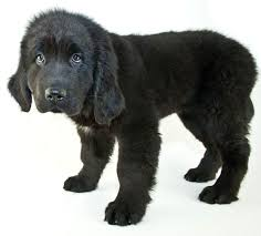 Do Black And Tan Coonhounds Shed by Newfoundland Dog Breed Information Pictures Characteristics