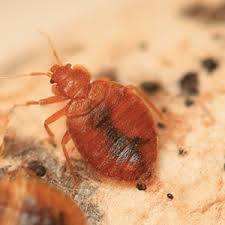 Bed Bugs – What to Look for and What to Do