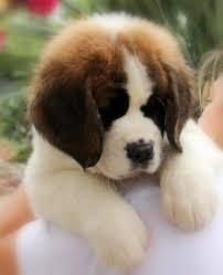 25 best bernards images on big dogs