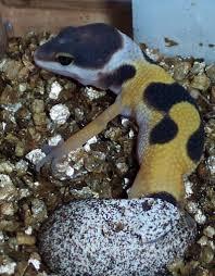 Do Leopard Geckos Shed by Hatchling Leopard Gecko Care The Gecko Spot