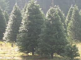 Seattle Christmas Tree Disposal by Christmas Tree Recycling Options Around Olympia Thurstontalk