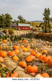 Faulkners Pumpkin Patch by Pumpkin Patch With A Red Barn In The Background Stock Photo