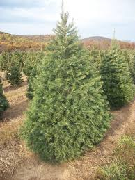 Types Of Christmas Trees In Oregon by About Our Christmas Trees Evergreen Valley Christmas Tree Farm