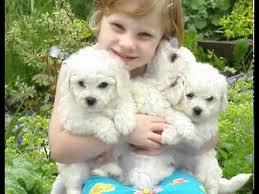 No Shedding Dog Breed by Non Shedding Dog Breeds Youtube