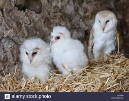 Adult Barn Owl (tyto Alba) With Two Chicks, United Kingdom Stock ... This Galapagos Barn Owl Lives With Its Mate On A Shelf In The Baby Barn Owl Owls Pinterest Bird And Animal Magic Tito Alba Sitting On Stone Fence In Forest Barnowl Real Owls Echte Uilen Wikipedia Secret Kingdom Young Tyto Roost Stock Photo 206862550 Shutterstock 415 Best Birds Mostly Uk Images Feather Nature By Annette Mckinnnon 63 2 30 Bird Great Grey