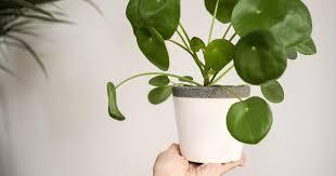 pilea ufopflanze als zimmerpflanze pflegen das haus