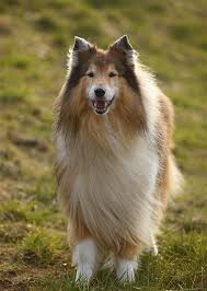 collie dog breed information pictures characteristics facts