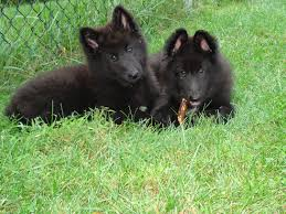 Guard Dogs That Dont Shed by Belgian Sheepdog