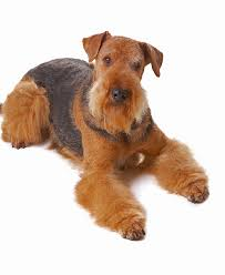 Airedale Terrier Non Shedding by Airedale Terrier Dog Breed Information Noah U0027s Dogs