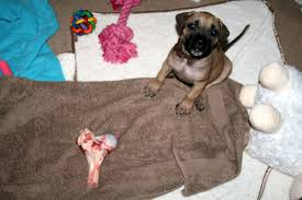 Do Bullmastiffs Shed A Lot by Living With Your Boerboel U2013 The First 6 Months My Little Boerboel