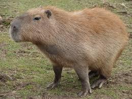 Cookie Clicker Halloween Cheats by Image Capybara 02 Jpg Cookie Clicker Wiki Fandom Powered By