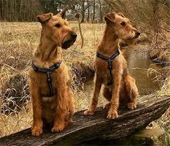 irish terrier poor man s sentinel farmer s friend and