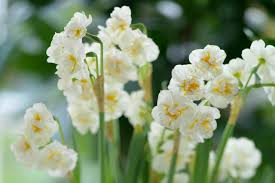 narcissus bridal crown daffodil