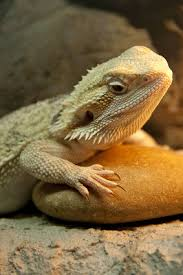 bearded dragon heating requirements bearded dragon care sheet