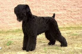 Do Giant Schnauzers Shed by List Of Dogs That Don U0027t Shed U2026much U2013 What Every Dog Deserves