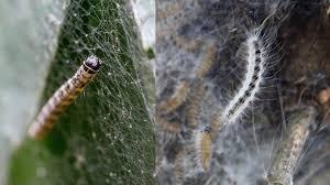 gespinstmotte bekämpfen was gegen den schädling hilft