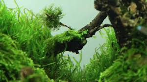 SuperWen's 2012 Aquascape : Mononoke Forest - YouTube Aquascape Of The Month June 2015 Himalayan Forest Aquascaping Interesting Driftwood Placement Aquascapes Pinterest About The Greener Side Aquascaping Design Checklist Planted Tank Forum Simons Blog Decoration Bring Nature Inside Home Ideas Downhill By Arie Raditya Aquarium 258232 Aquaria Creating With Earth Water Fire Air Space New Aquascapemarch 13 2016page 14 Page 8 Aquapetzcom Magical Youtube 386 Best Tank Images On Aquascape