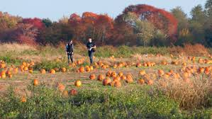 Pumpkin Picking In Chester Nj by Best Pumpkin Picking Patches In Ny Nj Connecticut Cbs New York
