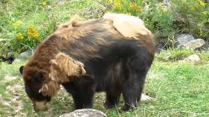 Do All Dogs Shed Their Fur by Honey Bear Shedding The Last Of Her Winter Fur 8 31 14 Youtube