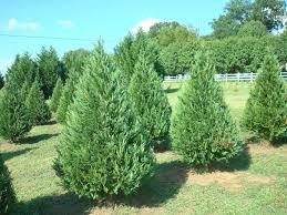 Leyland Cypress Christmas Tree Growers by Download Leyland Cypress Seedlings Solidaria Garden
