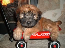 soft coated wheaten terrier pup wheaten terrier and terrier