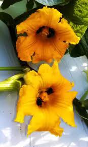 Pumpkin Patch Durham North Carolina by We Are Growing Pumpkins Ganyard Hill Farm Durham Nc