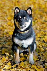 shiba inu breed information pictures characteristics facts