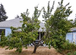 Backyard Garden Plum Trees - Growing Plum Trees In Your Garden ... Garden Design With Backyard Landscaping Trees Backyard Fruit Trees In New Orleans Summer Green Thumb Images With Pnic Park Area Woods Table Stock Photo 32 Brilliant Tree Ideas Landscaping Waterfall Pond Stock Photo For The Ipirations Shejunks Backyards Terrific 31 Good Evergreen Splendid Grass Scenic Touch Forest Monochrome Sumrtime Decorating Bird Bath Fountain And Lattice Large And Beautiful Photos To Select Best For
