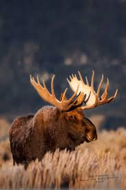 Moose Shed Antler Forums by Best 25 Big Game Hunting Ideas On Pinterest Wild Life Animals